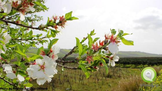 I fiori di Arance Chimera Bio